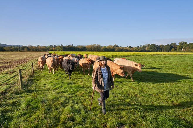 Jilly Greed walking in front of herd of cows, outside in a field on a sunny day